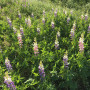 Growing lupin on marginal lands for the bioeconomy