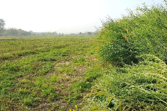 Trials of sunn hemp cultivars sown in midof May (precedent crop – barley)